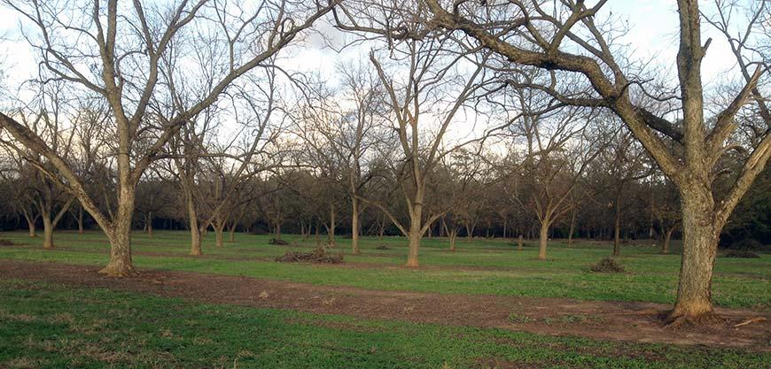 A Koinonia pecan orchard.