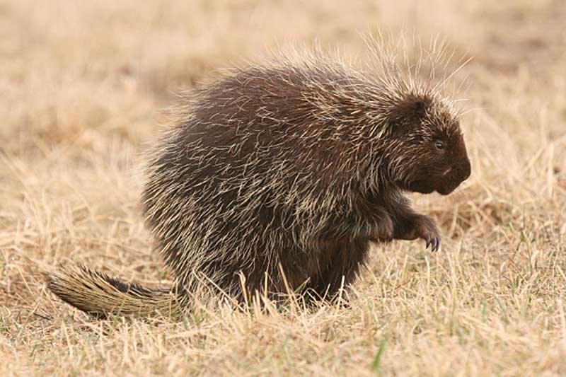 porcupinepotd