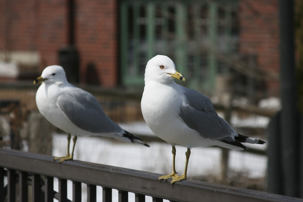 A pair of ring-billed gulls with an eye on the main chance. Photo: Kerry Lannert, Creative Commons, some rights reserved