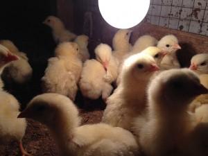 Feeding the chicks. Photo: Helder Rocha