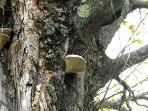 A maple under severe stress. Photo: anslatadams, Creative Commons, some rights reserved