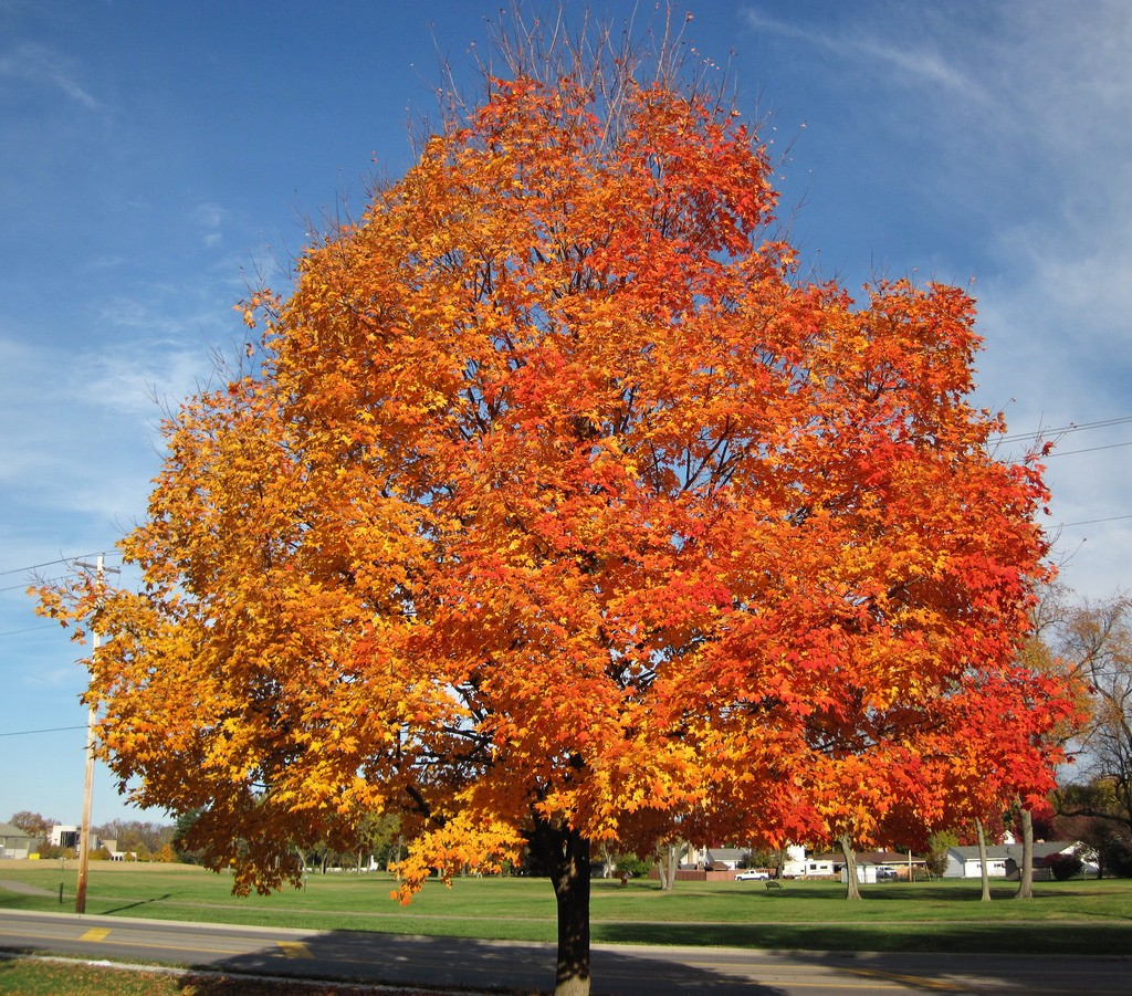Acer saccharum, the sugar maple--good looking, good at everything--annoying. Photo: James St. John, Creative Commons, some rights reserved
