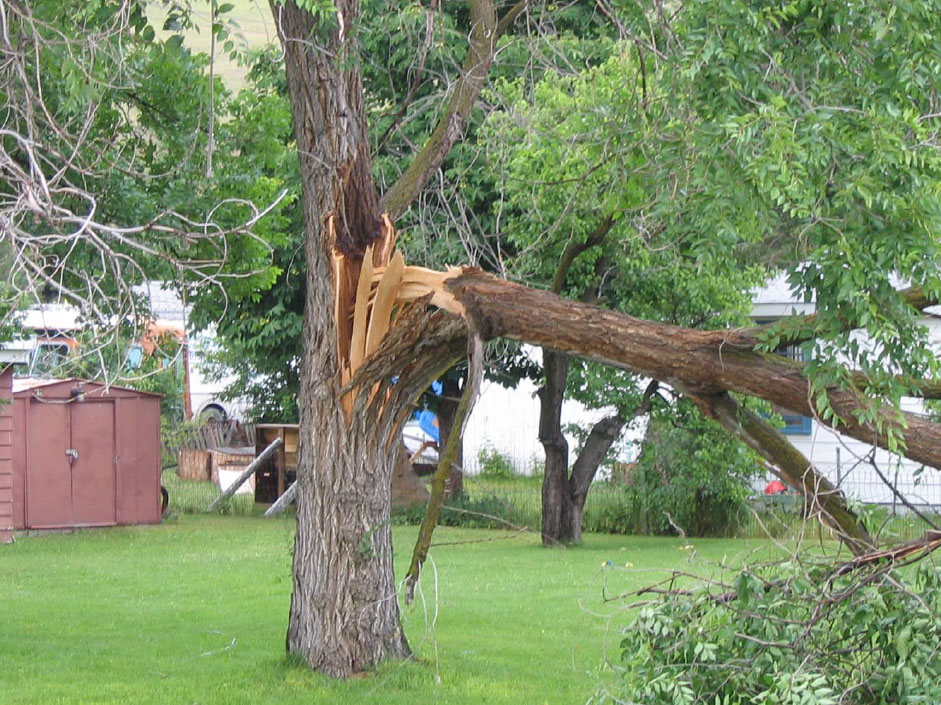 Don't let this happen to you. Weak trees need a little structural support. Photo: Purdue University