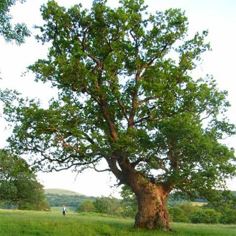 Some species of oak can live 800 years or more. Photo: Oliver Dixon, Creative Commons, some rights reserved