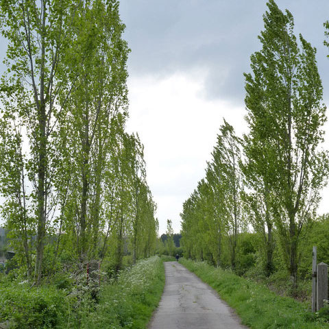 Live fast, die young. The Lombardy poplar barely makes it out of its teens. Photo: Alan Murray, Creative Commons, some rights reserved