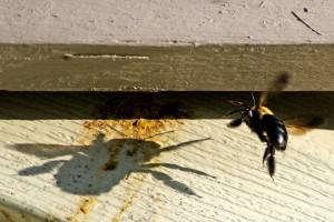 Carpenter bees can cast a big shadow on home maintenance. Photo: DRSPIEGEL14, Creative Commons, some rights reserved