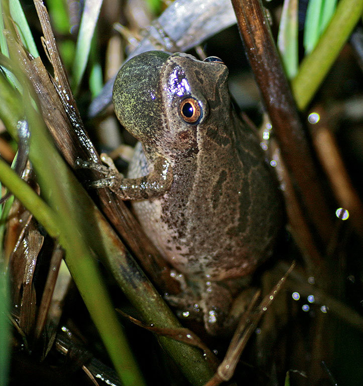 Often heard, but seldom seen--a spring peeper. Archive Photo of the Day: Bruce Dana, Morristown, NY