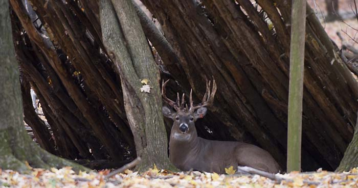 This four year old buck at a wildlife research station has already lived twice as long as the average whit-tail in the wild. Photo: Penn State, Creative Commons, some rights reserved
