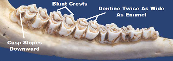 The typical tooth wear in a 4.5 year old whitetail deer. Illustration: Texas Department of Parks and Wildlife