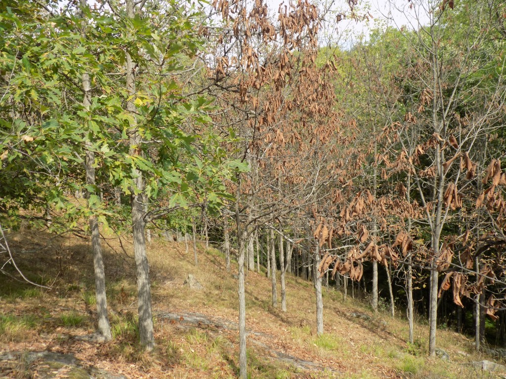 Drought has not been easy on trees in the park this summer.  The oaks at the left are managing to stay green, but the leaves have turned brown and died on the ironwoods to the right.  Photo by James Morgan