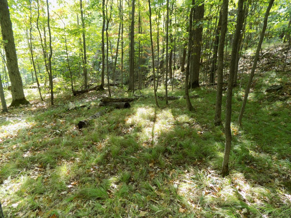 The hardwood forests of the Frontenac Arch often have a grassy glade on their floor.  Photo by James Morgan