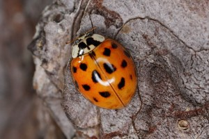 The one mild-mannered Lady Beetle Band has been overrun by aggressive Asian relations. spacebirdy, Creative Commons, some rights reserved