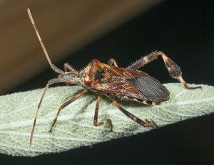 A member of Western Conifer Seed Bug Amalgamation, suspicious newcomers from the west of the Rockies. Photo: Didier Descouens, Creative Commons, some rights reserved