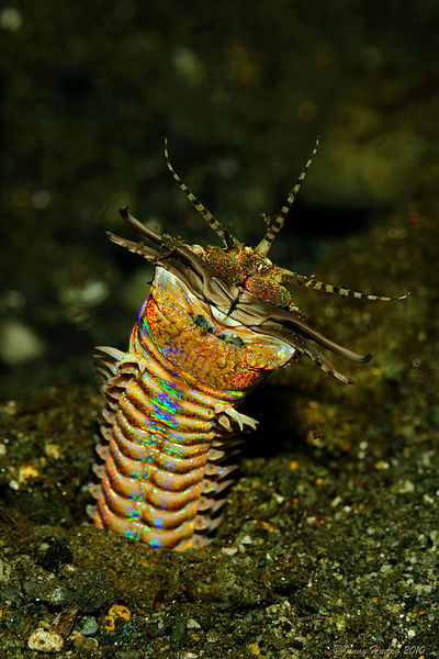 The flashy Eunice aphroditois, a.k.a. the Bobbitt worm, can reach 10 feet in length and has the pleasant habbit of slicing prey in half. Plus, of course, there's the whole lethal toxin thing. Photo: Jenny, Creative Commons, some rights reserved