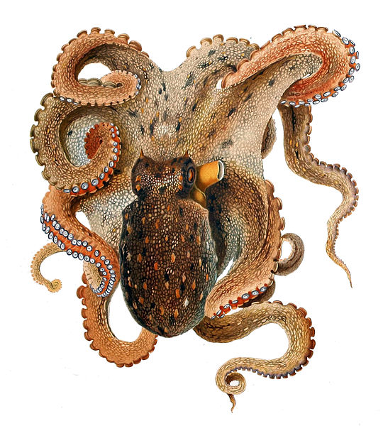 The common octopus, uncommon in too many ways to count. Illustration: Comingio Merculiano, public domain