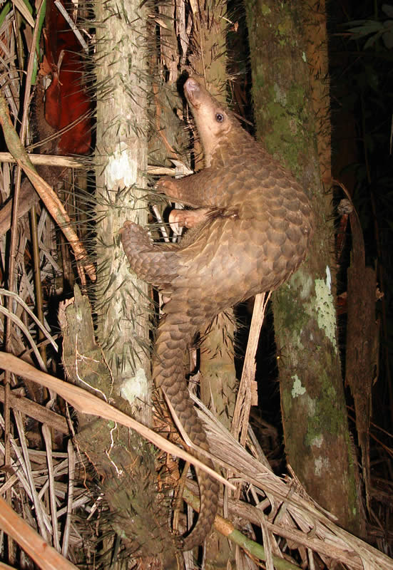 """The pangolin: """"if you got an aardvark to mate with a globe artichoke."""" Photo: Piekfrosch, Creative Commons, some rights reserved"""