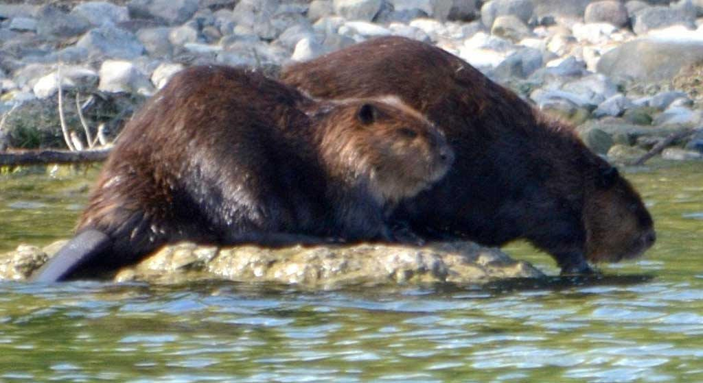 Sunning beavers. Archive Photo of the Day: Pam Monacelli, Massena, NY