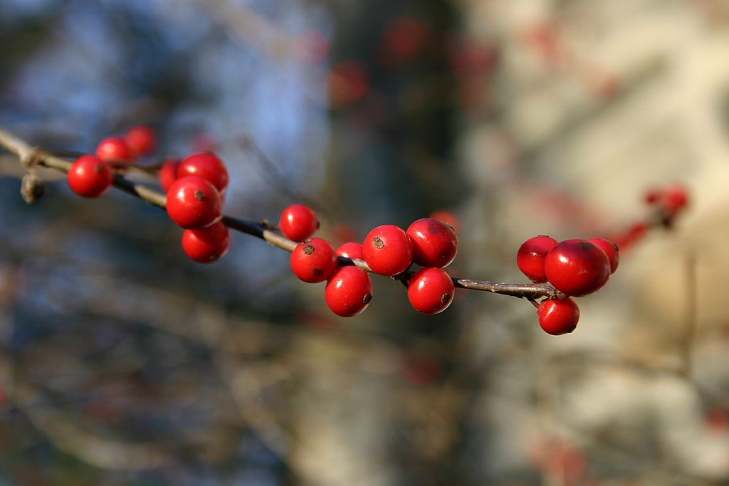 Winterberry, a native deciduous holly bush has red berries through to spring. Photo: SB Johnny, Creative Commons, some rights reserved