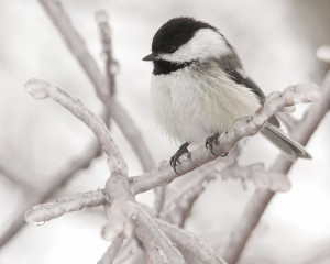 Chickadees go hungry when ice covers their food supply. Photo: Mike Tidd, Creative Commons, some rights reserved