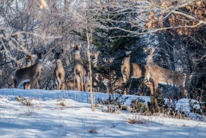 Deer may have to choose between struggling through deep snow and finding food. Photo: FOHRA, Creative Commons, some rights reserved