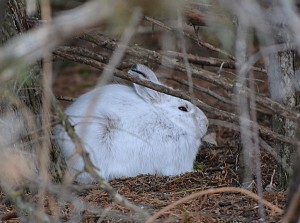 A snowshoe hare's nifty camo does little good in the thaw. Photo: ND Parks and Recreation Dept., Creative Commons, some rights reserved