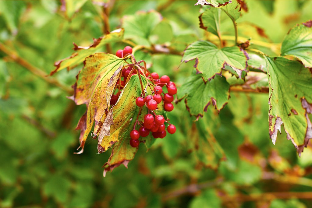 Arrowwood fruit remains edible deep into the winter. Photo: Andre Glechikoff, Creative Commons, some rights reserved