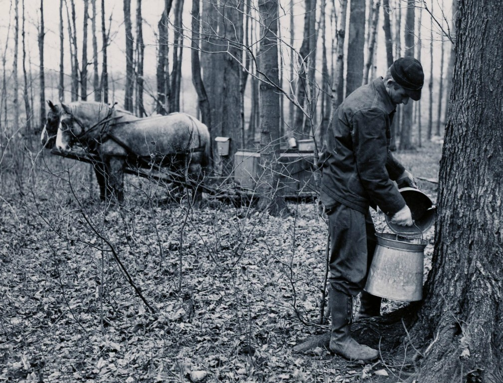 Man collecting sap for transportation back to the sugar house.