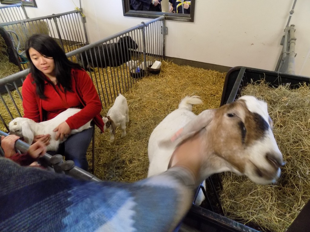 These goats were friendly and eager to start eating the sleeves of visitors coats!  Photo: James Morgan