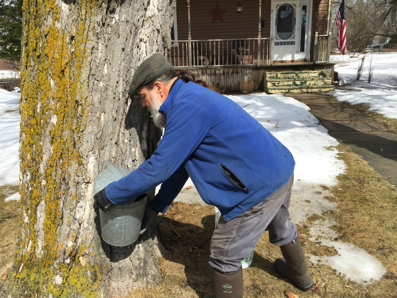 Michael Greer collecting sap from one of the many properties he has tapped