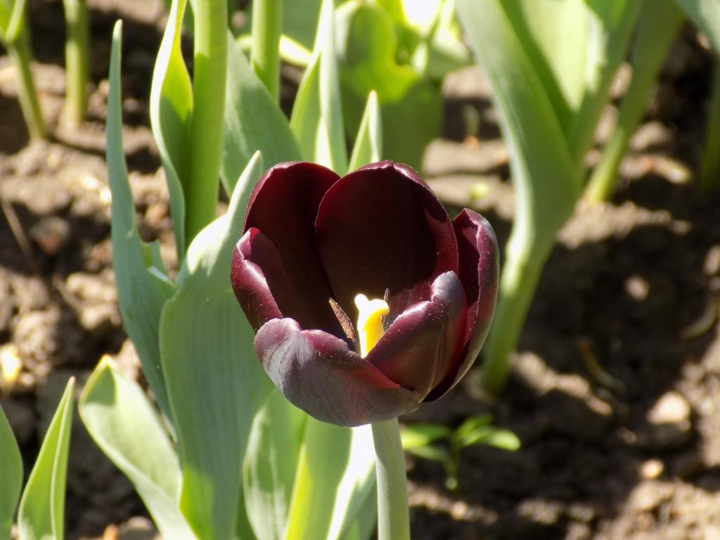 Tulips come in black too.  Photo: James Morgan