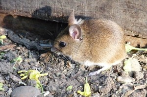Keep your house mouse-free. This year, researchers from downstate are finding an average of 150 deer ticks per mouse. Photo: Zorba the Geek, Creative Commons, some rights reserved