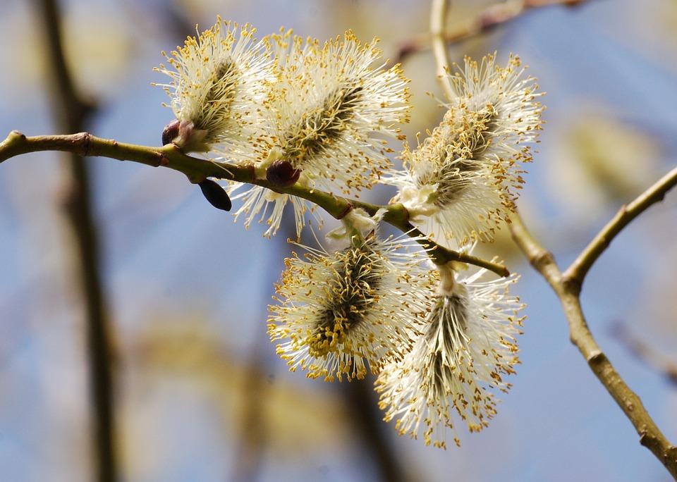 Flower Wildflower Close-up Catkin Willow Salix