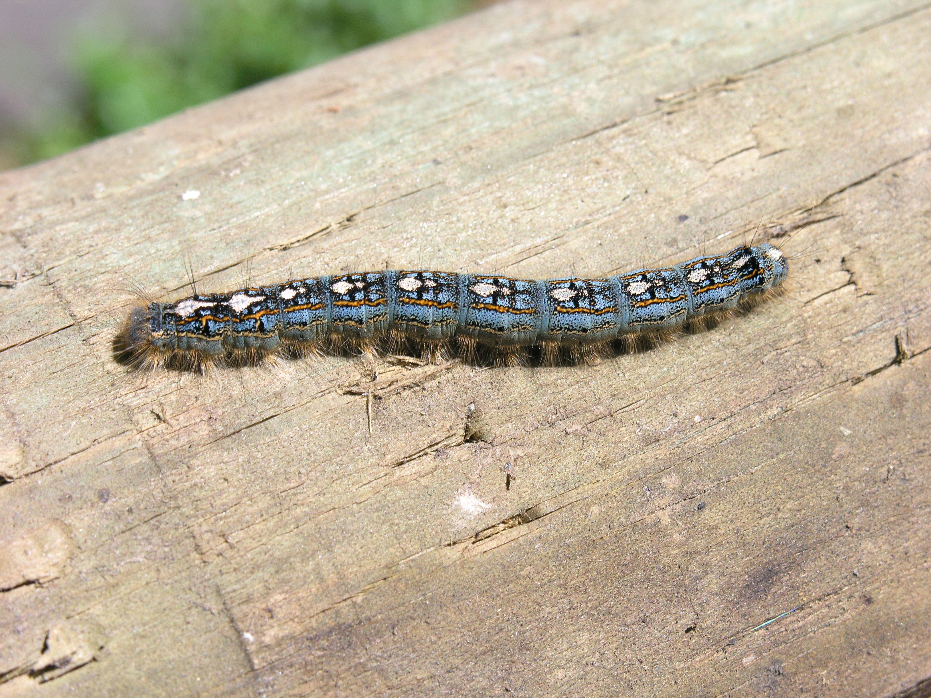 Forest tent caterpillar. Photo Greg Hume Creative Commons some rights reserved & Forest-tent caterpillars: Not in tents just intense « All In