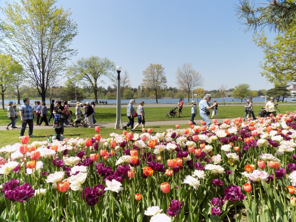 Ottawa's tulips attract thousands of visitors every year.  This is Commissioners Park with Dows Lake in the background.  Photo: James Morgan