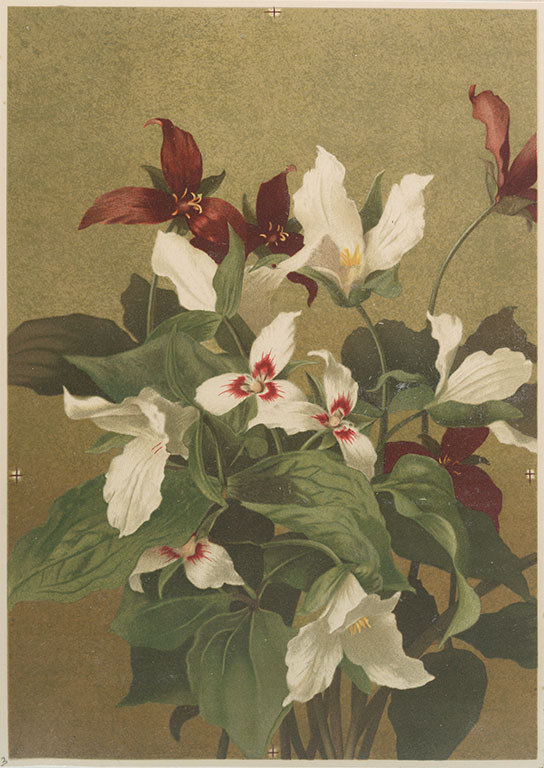 Trillium print by T. Ellen Fisher, c. 1900.