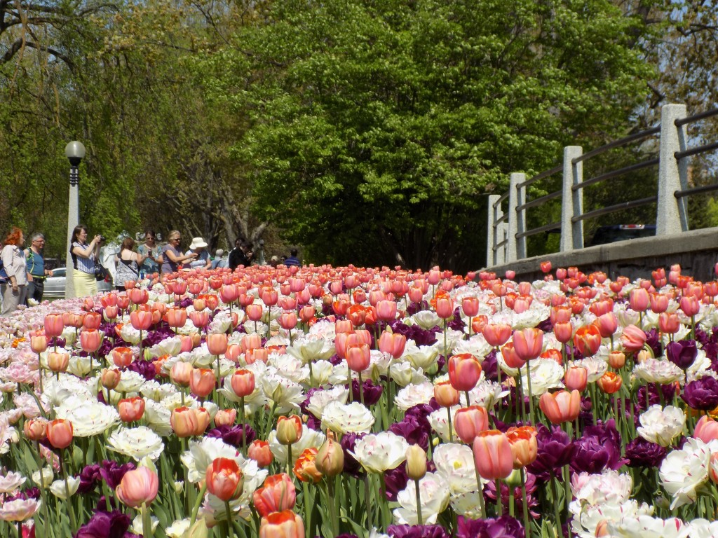 Cameras click constantly during tulip time in Commissioners Park.  Photo: James Morgan