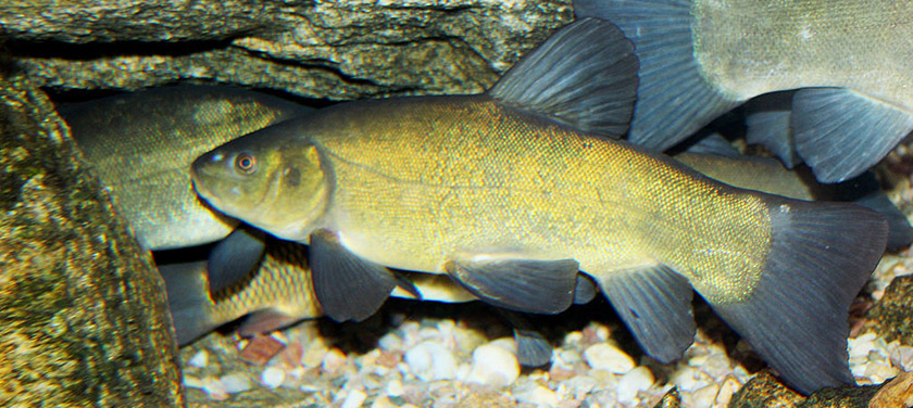 Tench - good eating, not so good neighbor. Photo: Karelj, Creative Commons, some rights reserved
