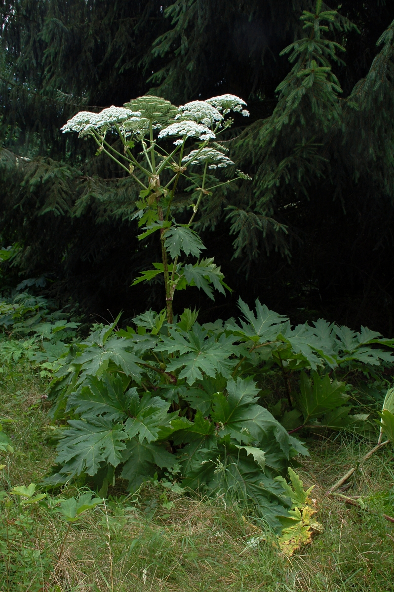Giant hogweed. Photo: Fritz Geller-Grimm, Creative Commons, some rights reserved