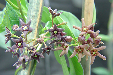 "Invasive pale and black swallow-wort are in the periwinkle family and kin to milkweed. But they reveal their true colors in the nickname ""dog-strangling vine,"" choking out their more desirable cousins. Photo: USDA"