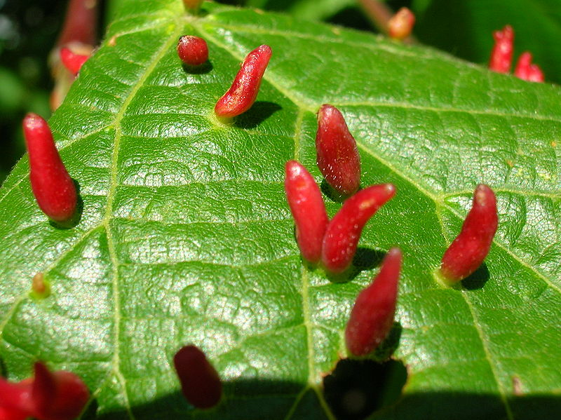 Eriophyid mite galls on leaf. Photo: Roger Griffith, Creative COmmons, some rights reserved
