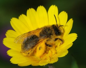 """A large number of solitary wild ground-nesting bee species are among the native pollinators who thrive in a """"messy"""" North Country environment. An Andrena sp. bee with a full load of pollen on a Calendula flower. Photo: Alvesgaspar, Creative Commons, some rights reserved"""