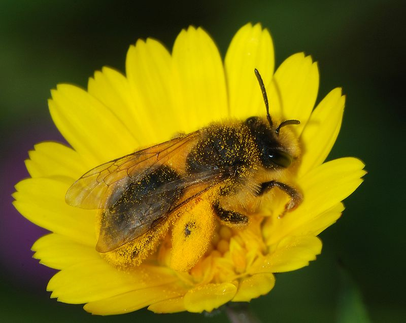 "A large number of solitary wild ground-nesting bee species are among the native pollinators who thrive in a ""messy"" North Country environment. An Andrena sp. bee with a full load of pollen on a Calendula flower. Photo: Alvesgaspar, Creative Commons, some rights reserved"