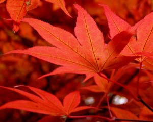 It's the anthocyanins that make you see red. Maple leaves at Exbury Gardens, Hampshire, England. Photo: Jim Champion, Creative Commons, some rights reserved
