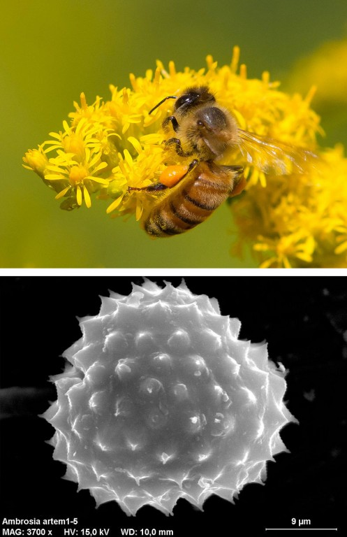 Top: Goldenrod pollen is relatively large and heavy, needing something like a bee to cart it around. Photo: Steve Burt, Creative Commons, some rights reserved. Bottom: This nasty, spiky ragweed pollen grain (3700X magnification) is light enough to carry on the wind straight up your nose. Photo: Marie Majaura, Creative Commons, some rights reserved