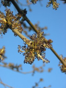 Ash tree in flower. If trees of the opposite sex are uncommon, some will transition. Photo: Donar Reiskoffer, Creative Commons, some rights reserved
