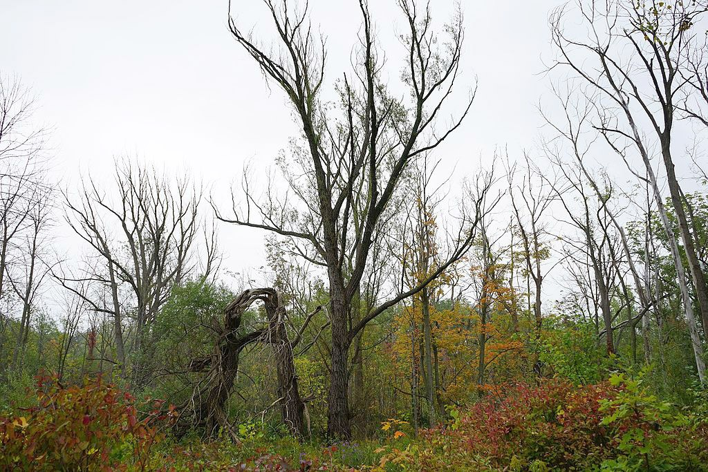 Ash borer damage in the Red Hill Valley near Hamilton, Ontario. Photo: Michael Hunter, Creative Commons, some rights reserved