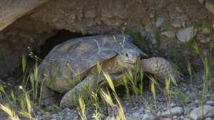 During the hottest part of summer, desert tortoises descend into deep burrows for a period of estivation. Photo: San Diego Zoo