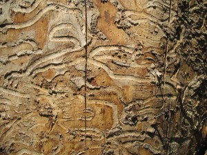 Emerald Ash Borer damage up close. Photo: John Hritz, Creative Commons, some rights reserved