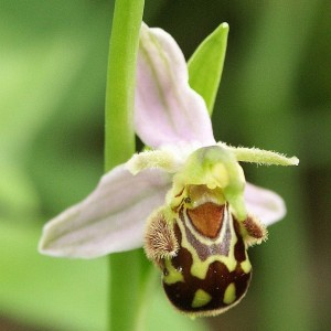 The bee orchid flower resembles a female bee closely enough to attract males in search of a mateBerndH, Creative Commons, some rights reserved
