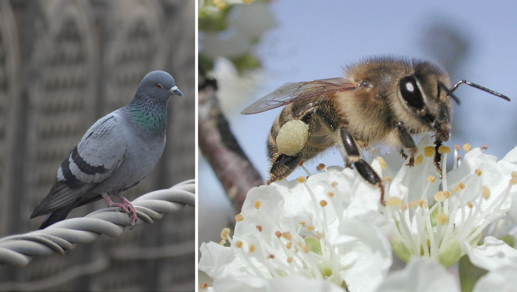 Ironically, both birds and bees can also be parthenogenic or hermaphroditic. Photos: pigeon, Jon Ascton; honeybee, Aphaia,Creative Commons, some rights reserved